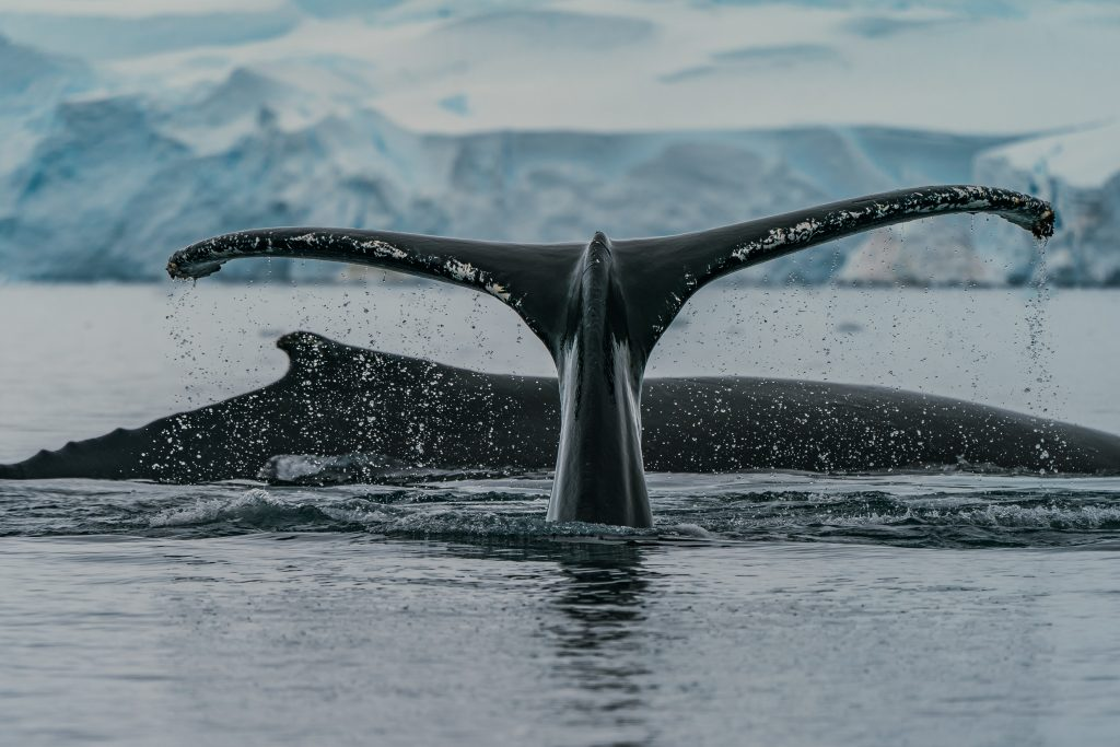 Whaling: an inconvenient truth – the hunters are not only killing whales, they are killing us too.