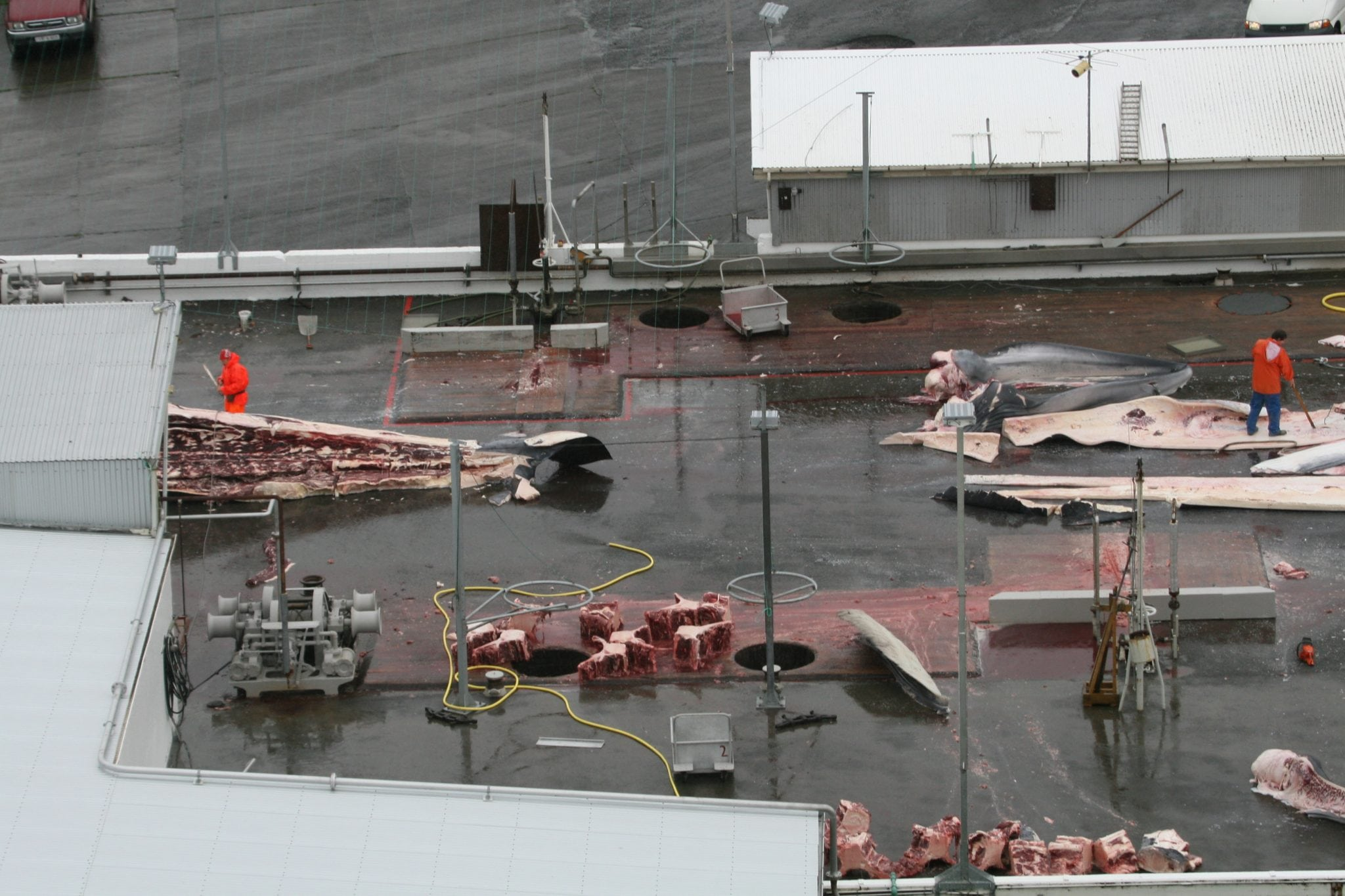Positive whaling news emerges from Iceland