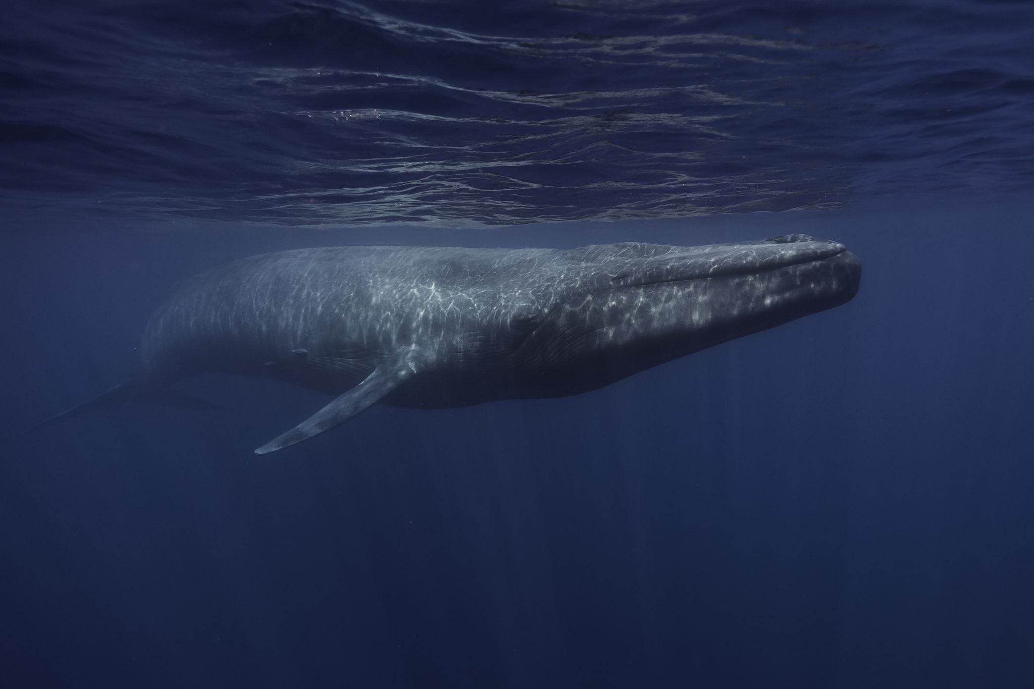 Blue whales in New Zealand prefer to hang out in cooler waters