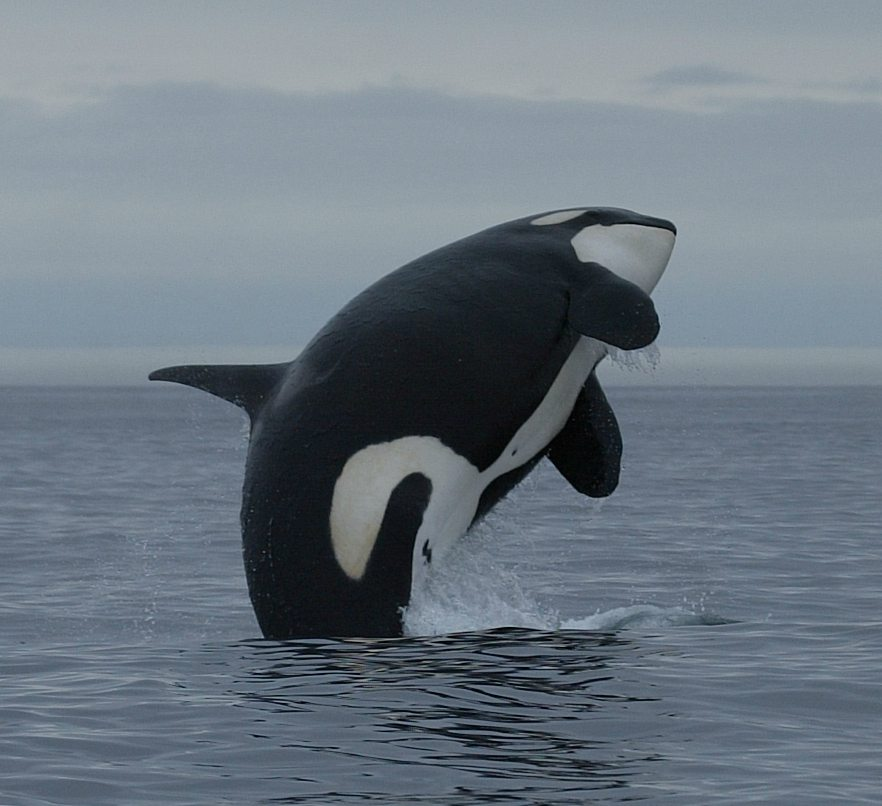 Are whales migrating huge distances for a skin makeover?