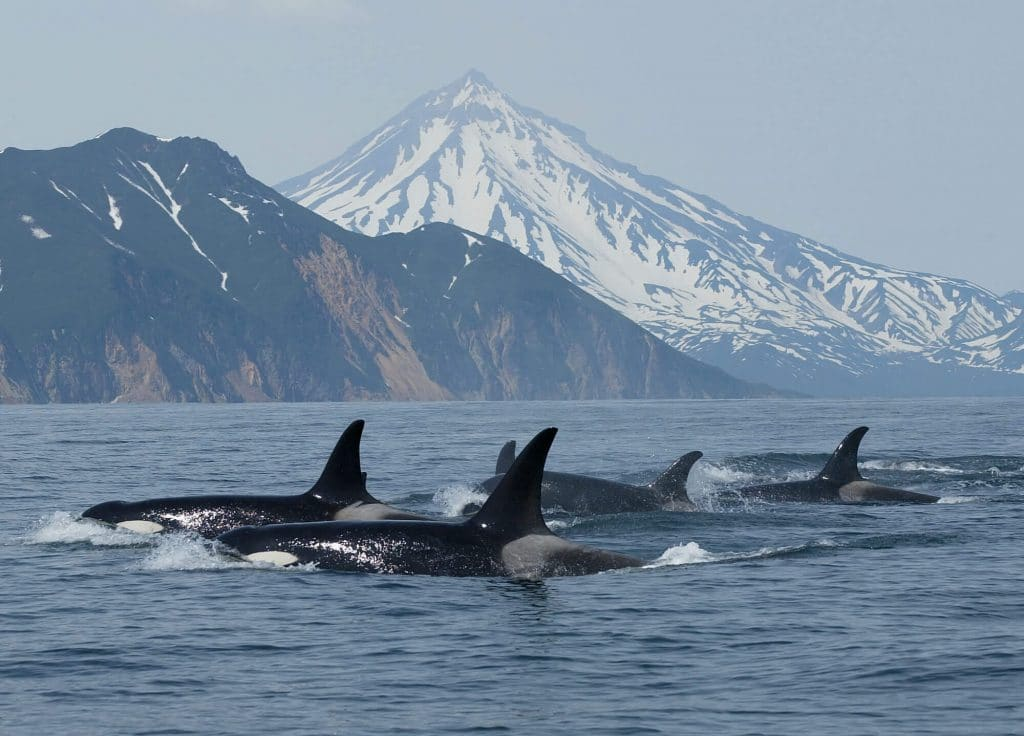 Russia to give orcas greater protection