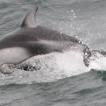 Pacific white-sided dolphin © Thomas Fisher