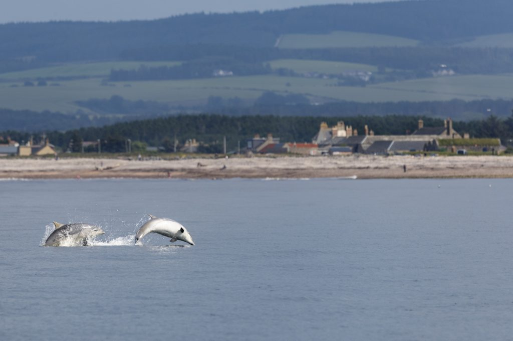 Young dolphins playing in front of our Scottish Dolphin Centre © WDC/Charlie Phillips
