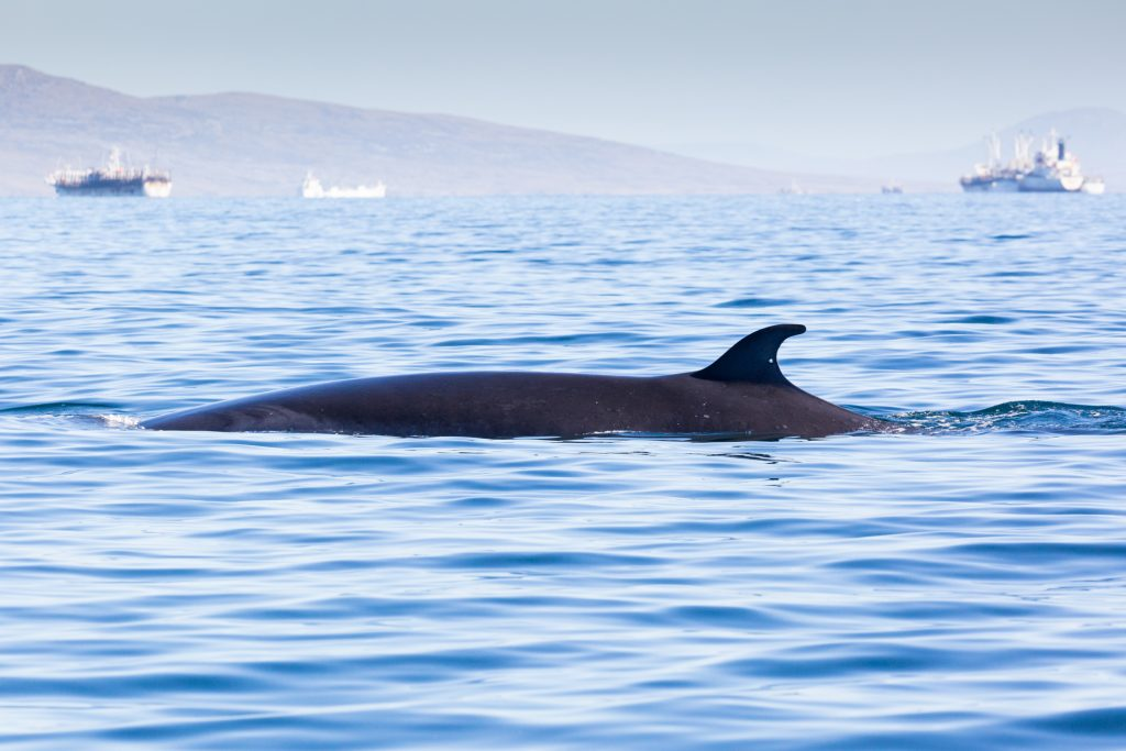 Sei whale and shipping Falklands